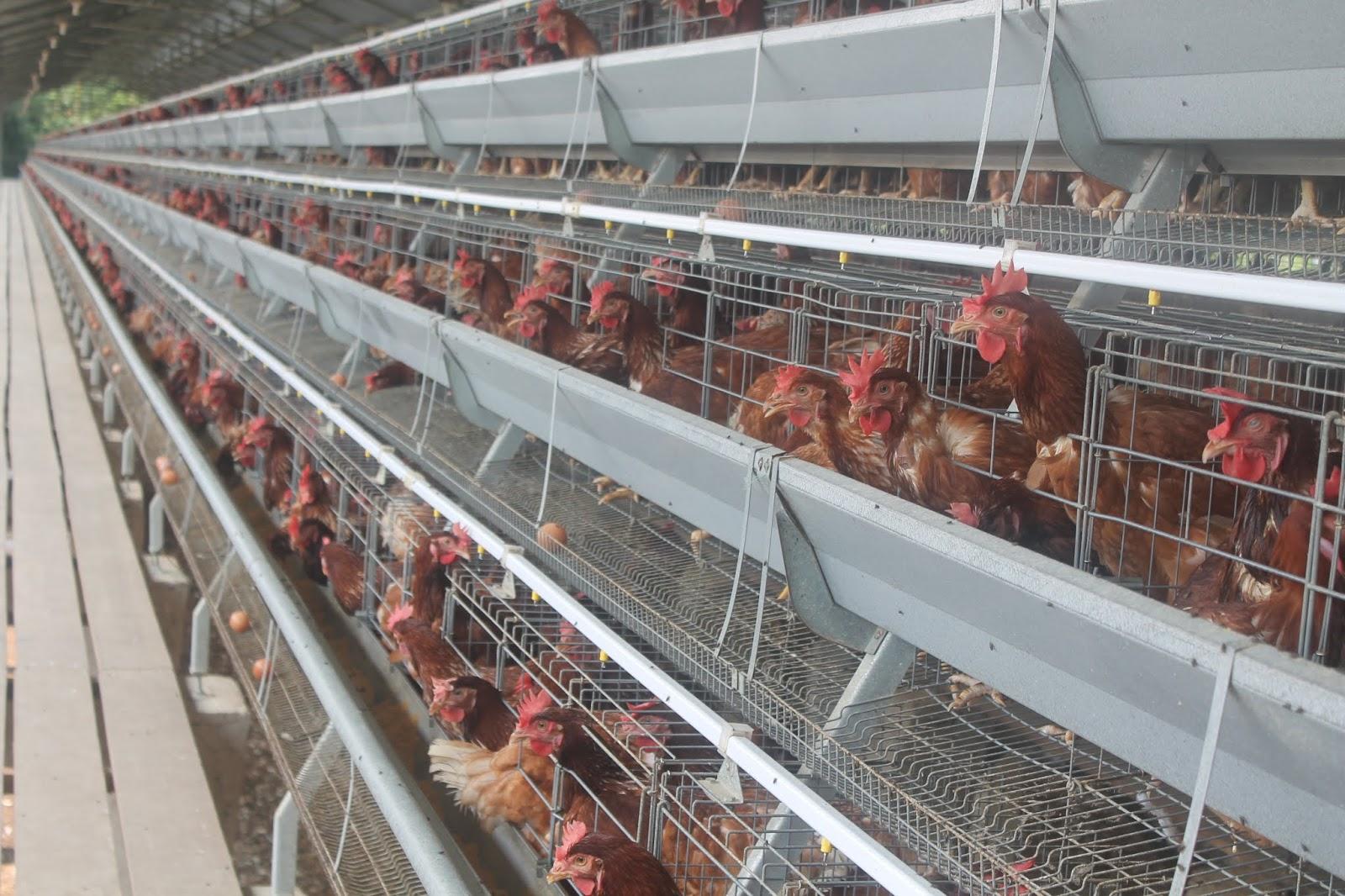 Langkah Pemerintah Perbaiki Harga Telur dan Jagung