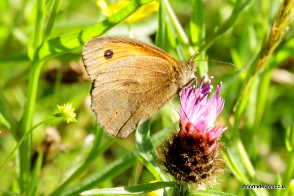 Meadow Brown -  Photo copyright Pat Adams North Devon Focus