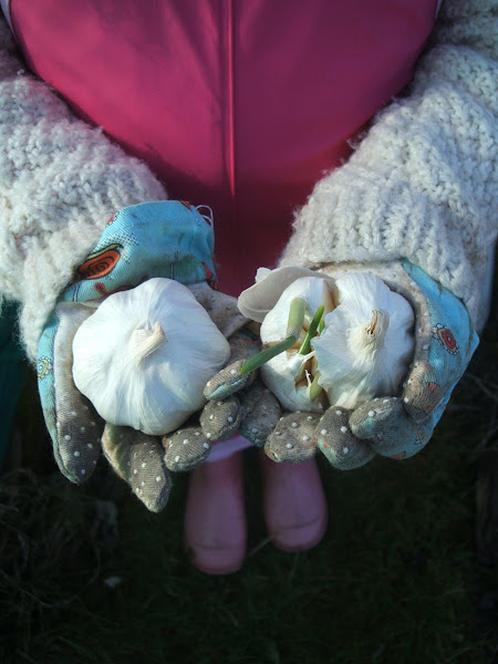 little girl holds garlic cloves in her hands ready for planting