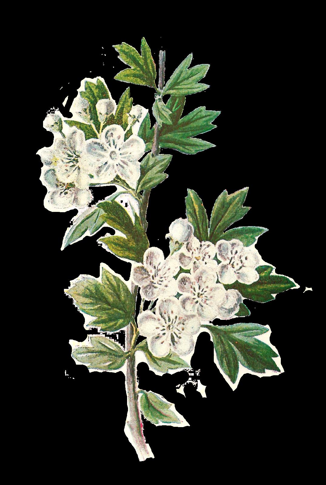 Antique Images: Digital Wildflower Hawthorn Clip Art Botanical Illustration Flower