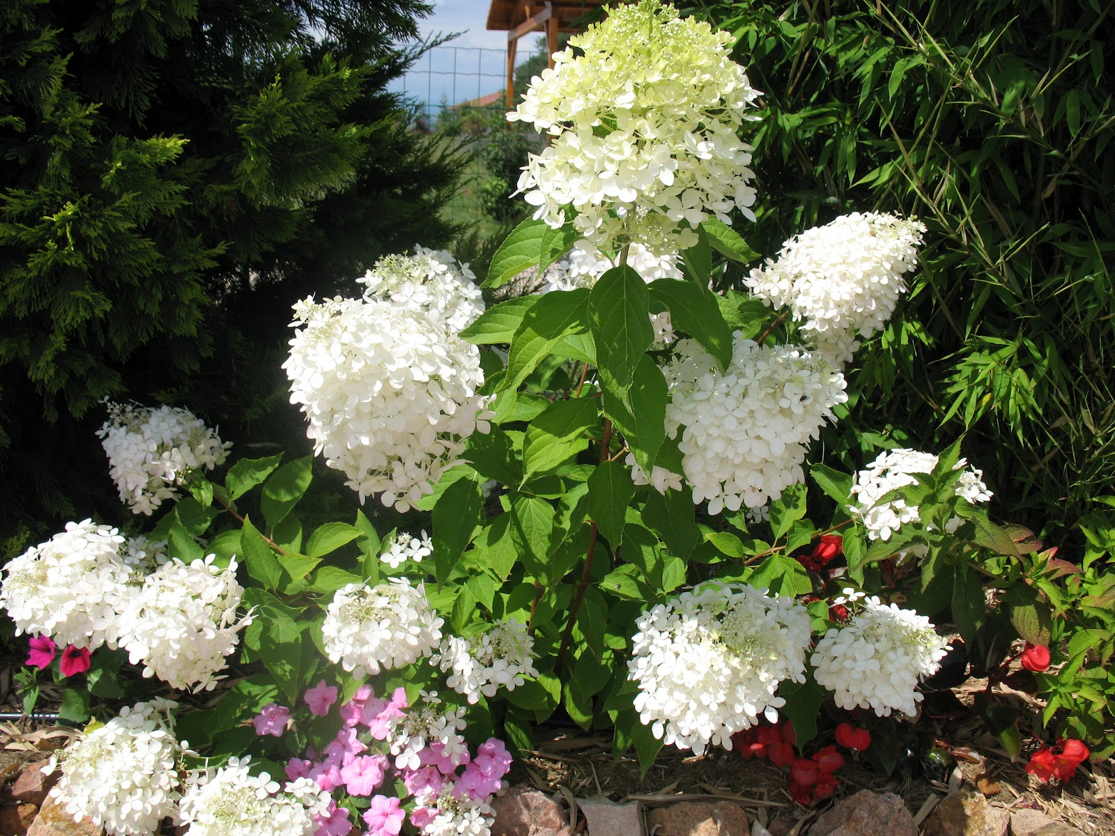Roses Du Jardin Cheneland Taille Des Hydrangeas