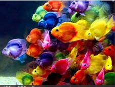 Ikan Hias Air Tawar Termahal Kerumunan Ikan Parot