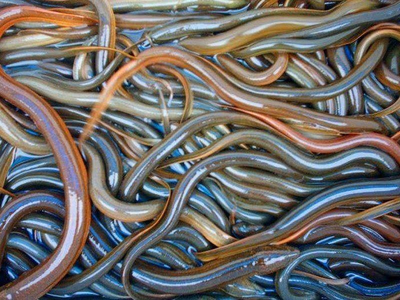 Gambar Ikan Belut