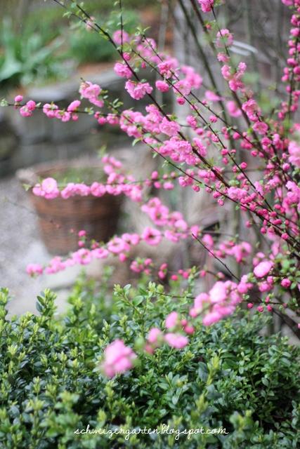 Ein Schweizer Garten: Prunus triloba - Mandelbäumchen