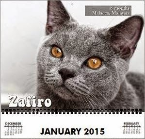 Zafiro the January15 Model for Cutest Furkids - Lovecats Wall Calendar