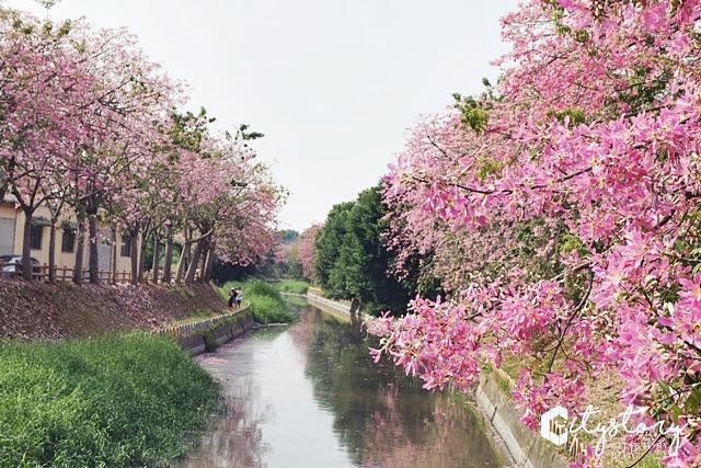 彰化北斗河堤心動廣場美人樹