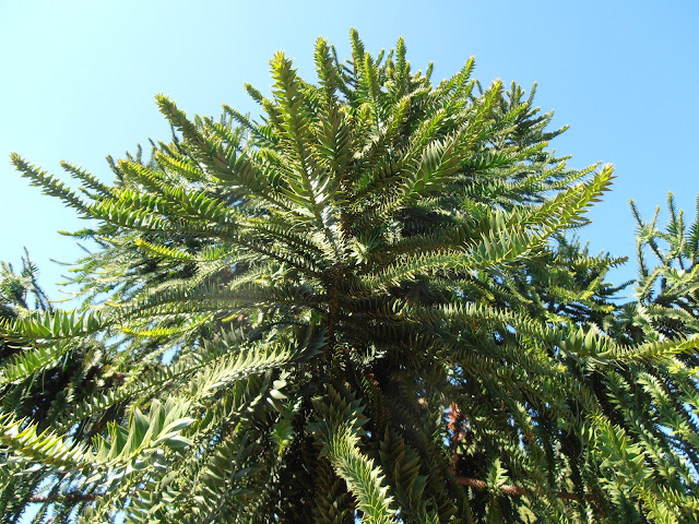 ARAUCARIA AUSTRALIANA: Araucaria bidwillii
