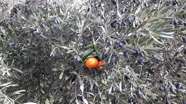 Beceite lanza olivos mandarinos al mercado