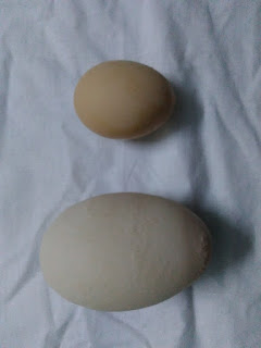 pernahkan anda melihat telur ayam paling besar di dunia