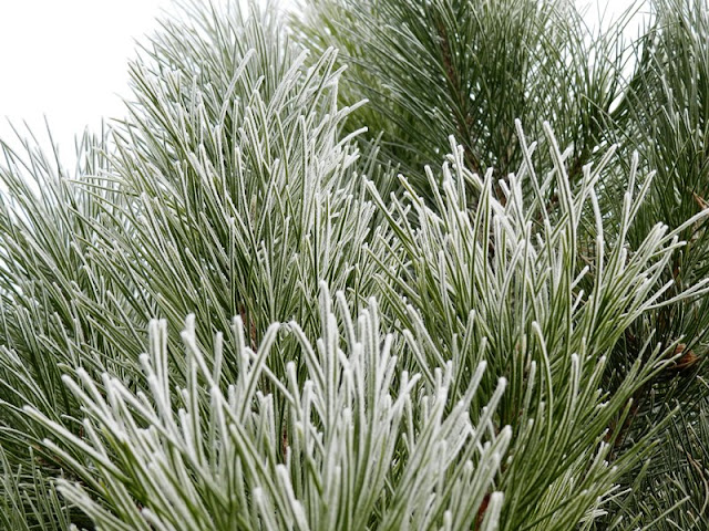 Frosted Winter Pine Branches Photograph: grow creative blog