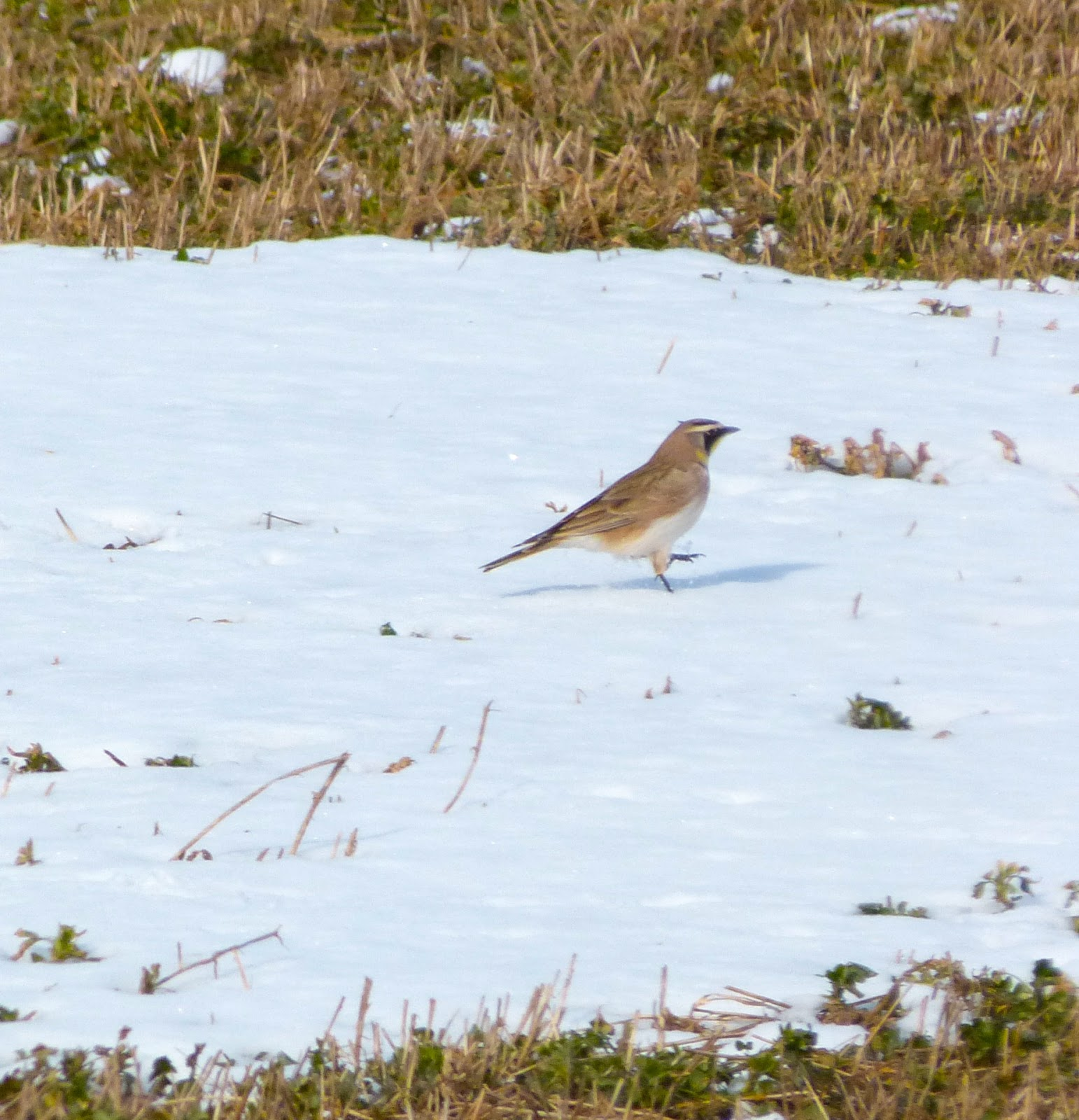 The Urban Birder: Upstate New York: Welcome to the arctic!