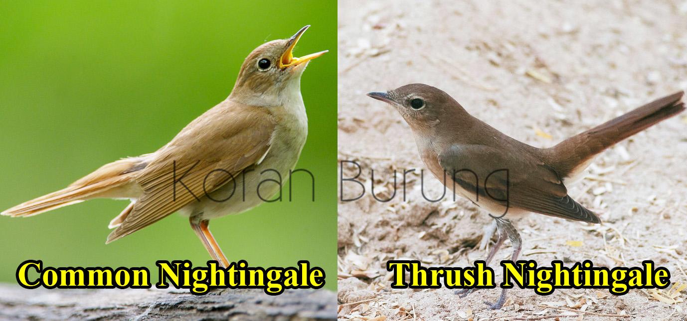 Fakta Sikatan Londo Common Nightingale Si Burung Penyanyi Yang Bersuara Indah