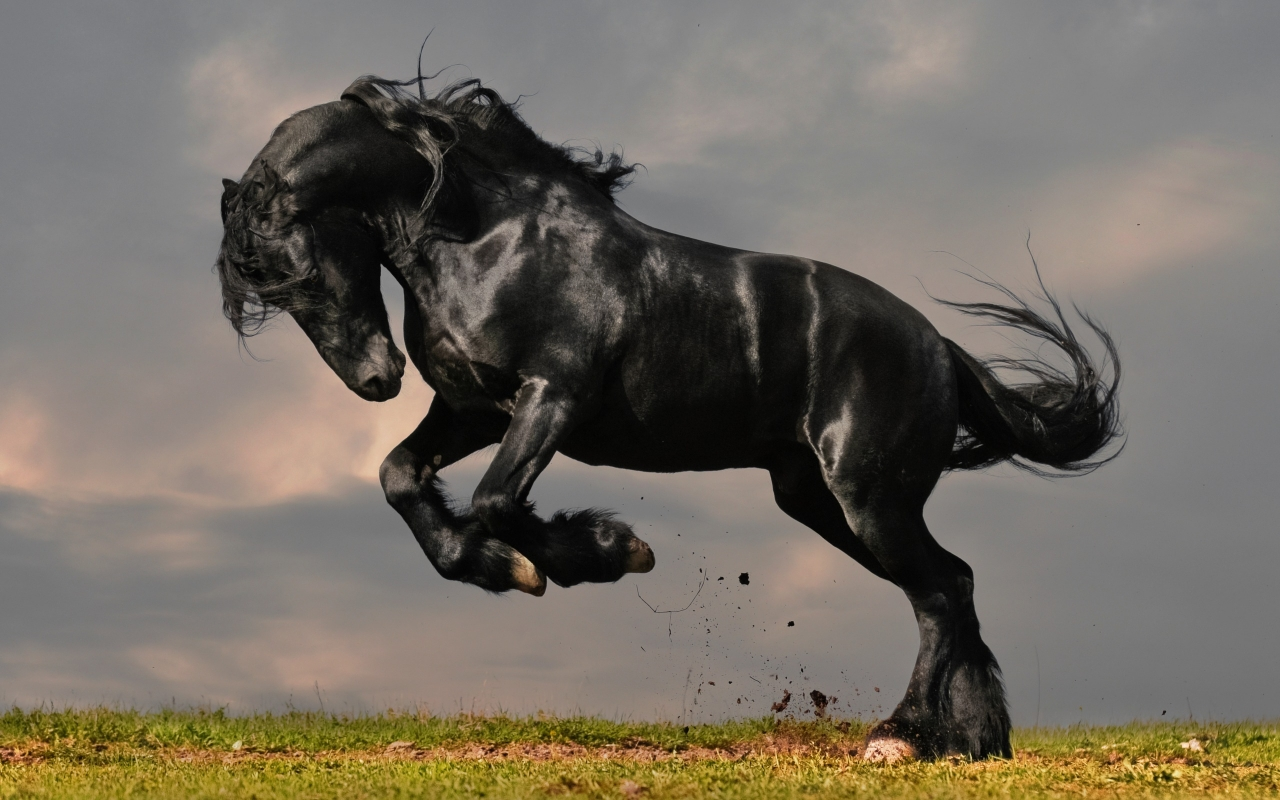 Cool   Wallpaper Horse High Quality - strong-black-horse-1280x800_wallpapers242  Photograph_312474.jpg