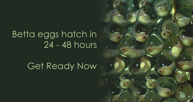 Berapa Lama Telur Ikan Cupang Menetas ?