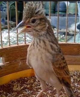 Jenis - Jenis Pakan Terbaik Untuk Burung Branjangan.