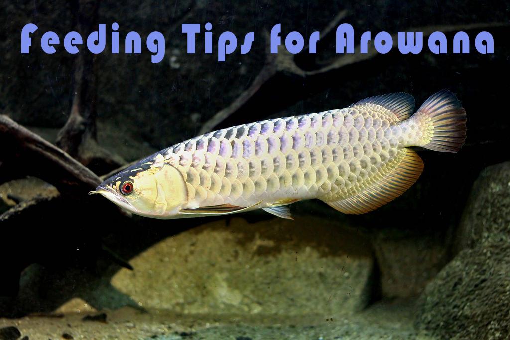 Feeding Tips For Arowana Aqualion