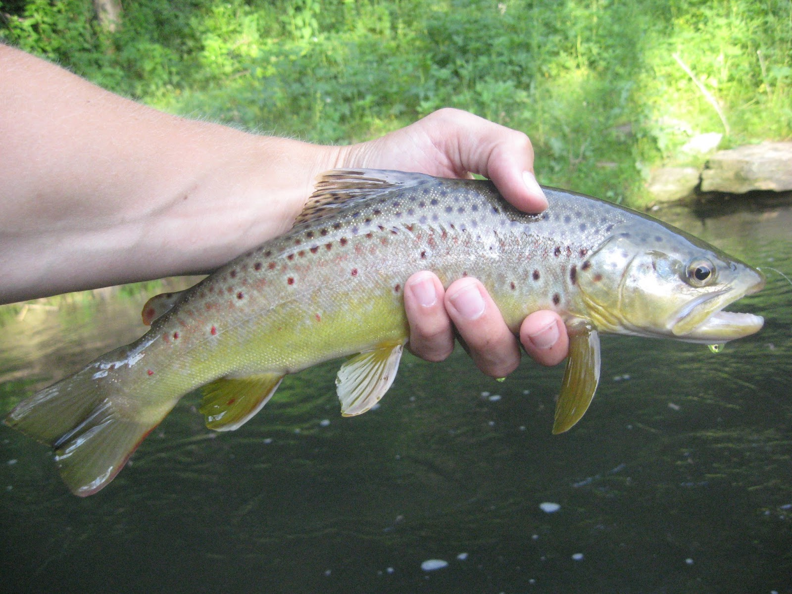 Minnesota driftless fly fishing trip report caddis madness for Driftless fly fishing