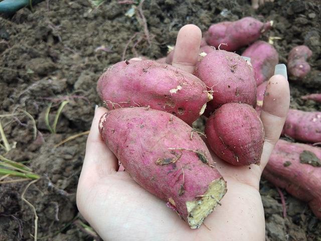 """Giá khoai lang chỉ 1.000 đồng/kg, nông dân Gia Lai """"vứt bỏ"""" cả bãi ngoài ruộng"""