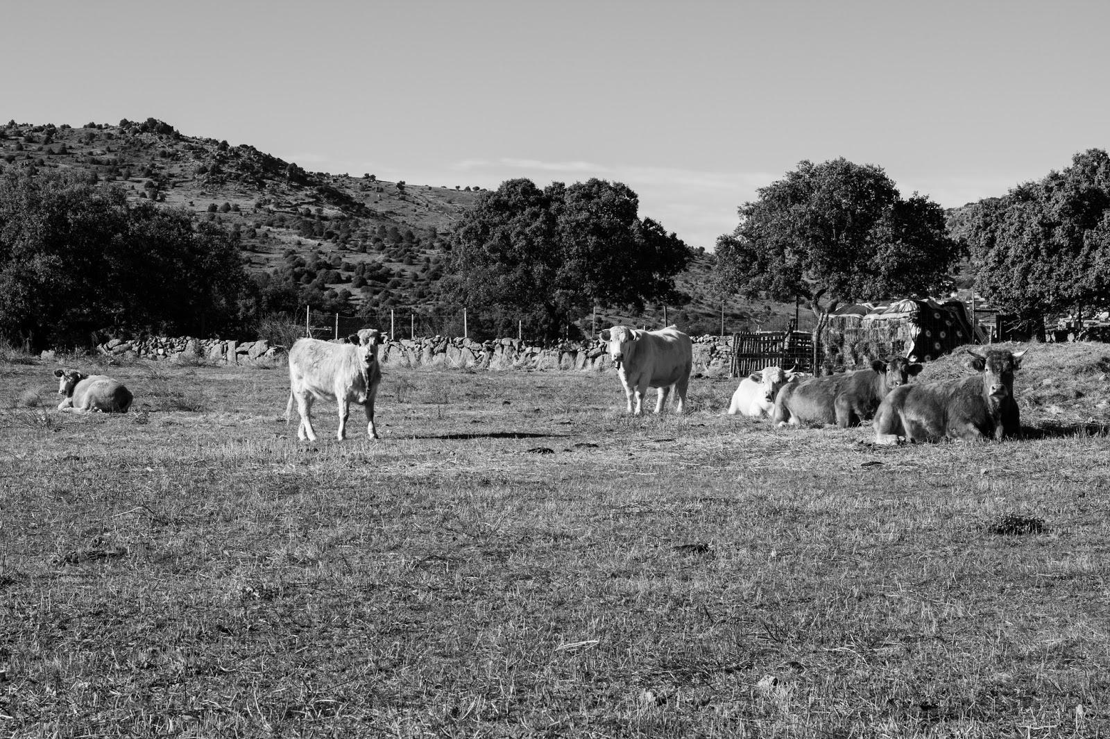 Vacas Pastando, El Barraco, Avila 2013