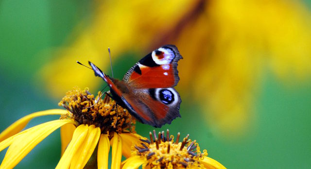 peacock, butterfly, neitoperhonen, perhonen, summer, kesä, kukka, keltainen kukka, suomi, finland