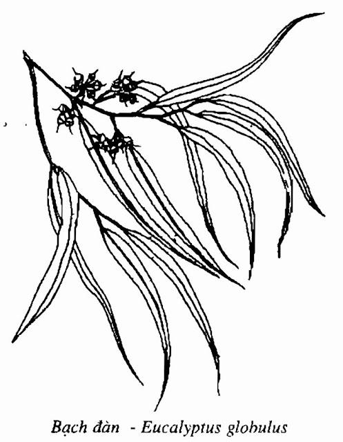 Hình vẽ BẠCH ĐÀN VÀ TINH DẦU BẠCH ĐÀN - Eucalyptus globulus - Nguyên liệu làm thuốc Chữa Ho Hen