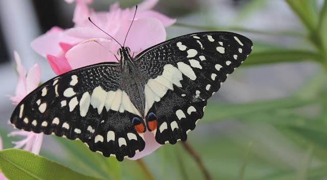 Metamorfosis Kupu Papilio Demoleus