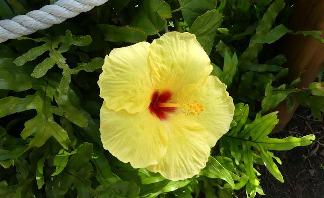 Hawaii - gelber Hibiskus - die Staatsblume der Inseln