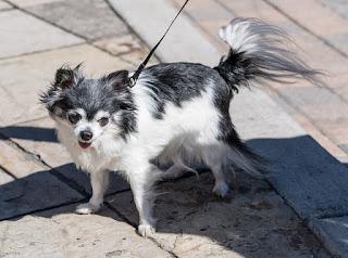 Jenis Anjing Chihuahua Bulu panjang, rambut panjang