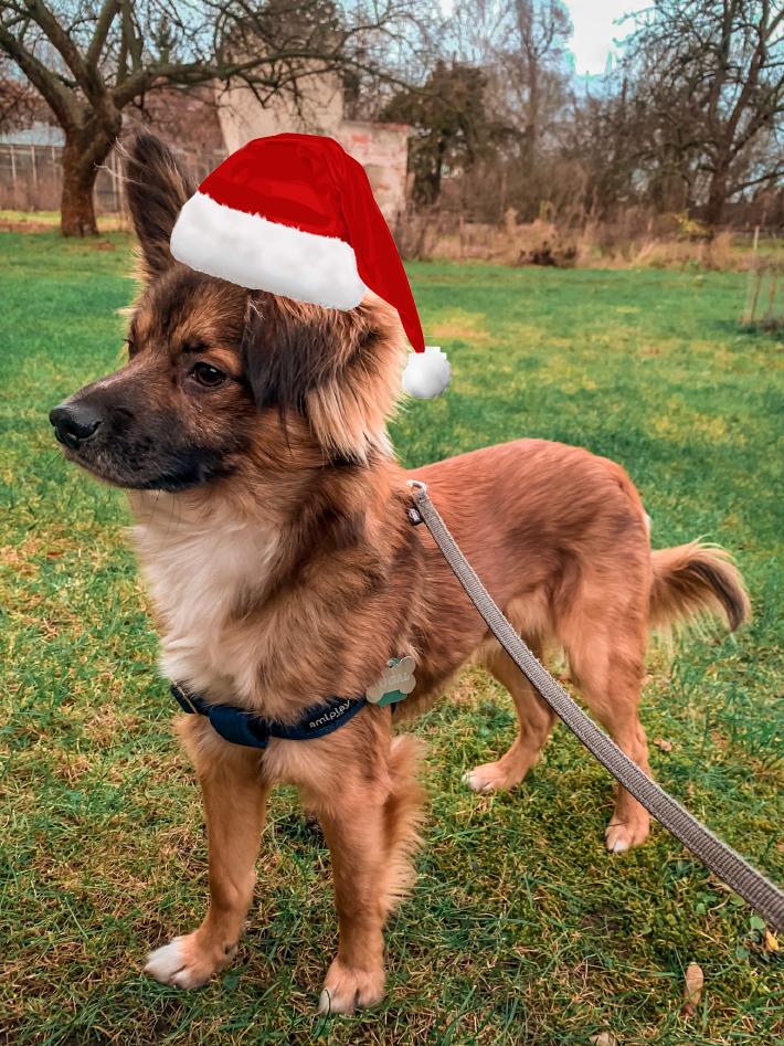 Pies do adopcji w czapce mikołaja we Wrocławiu
