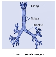 Fungsi Bronkus Pada Sistem Pernapasan Manusia