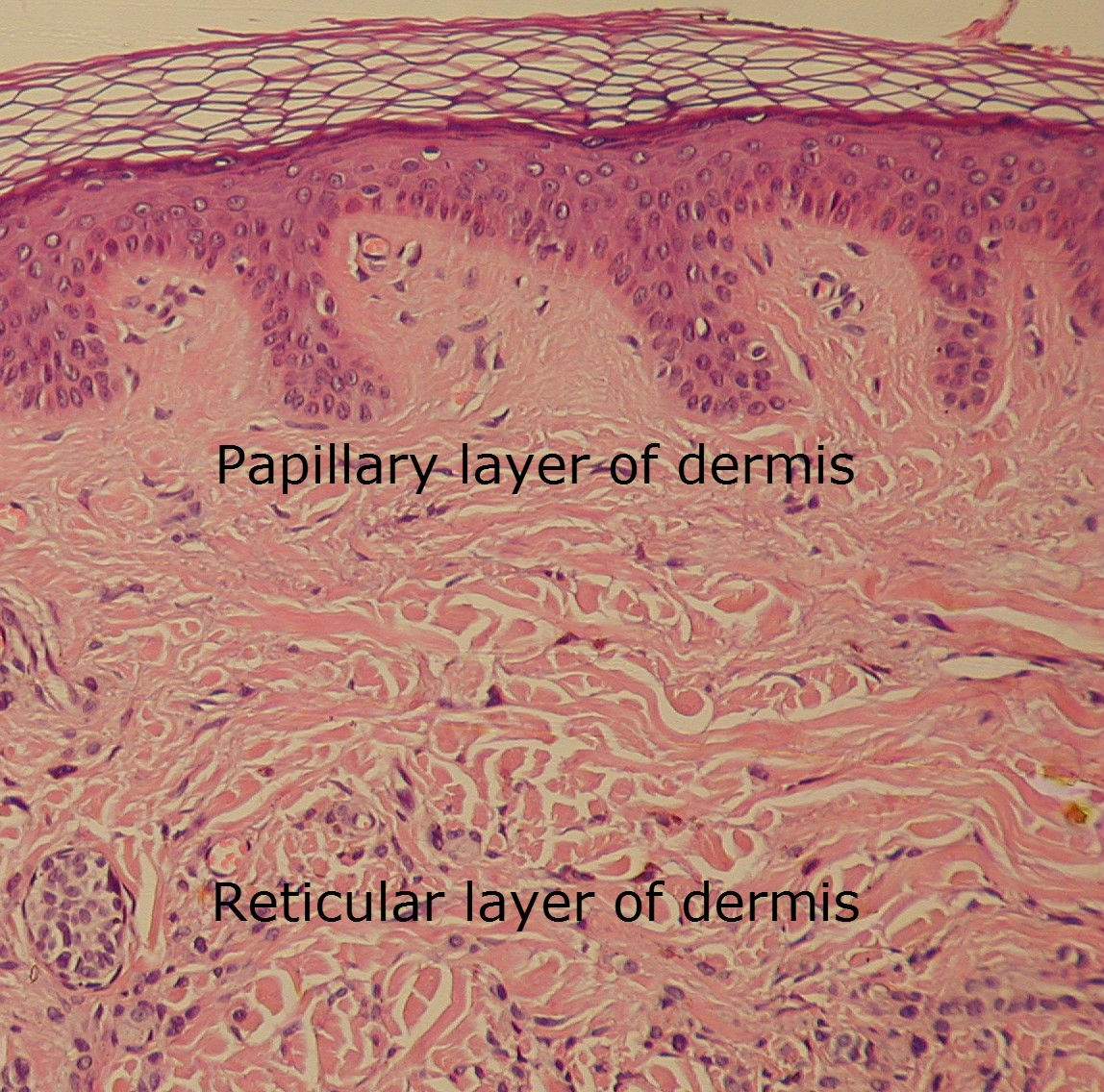 Areolar Connective Tissue Diagram Ear Scala Dermis Papillary Layer Of The Dynamic Natural