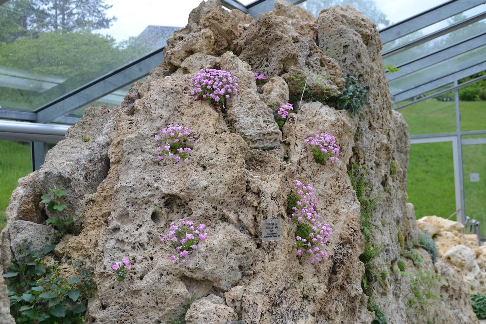 alpine pflanzen dionysia involucrata und dionysia involucrata 39 alba 39. Black Bedroom Furniture Sets. Home Design Ideas