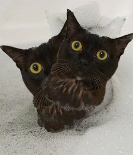 استخدام دراي شامبو للقطط