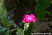 Firletka kwiecista- Lychnis coronaria
