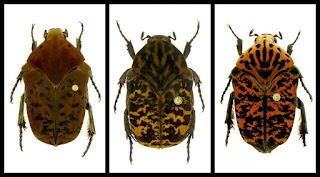 Closeup of three scarab beetles - Gymnetis drogoni, Gymnetis rhaegali and Gymnetis viserioni scarab beetles