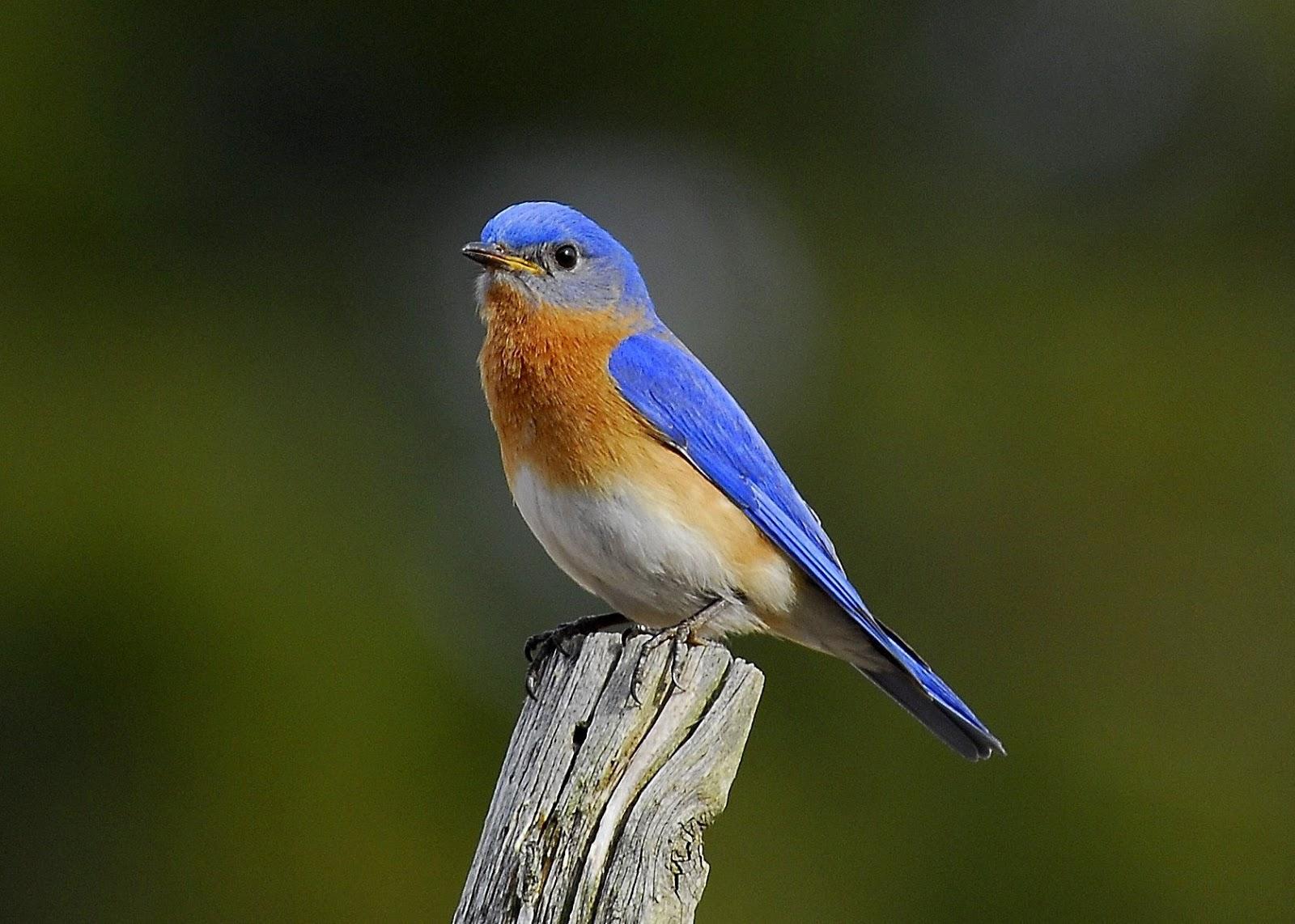 The Blue Bird Analysis