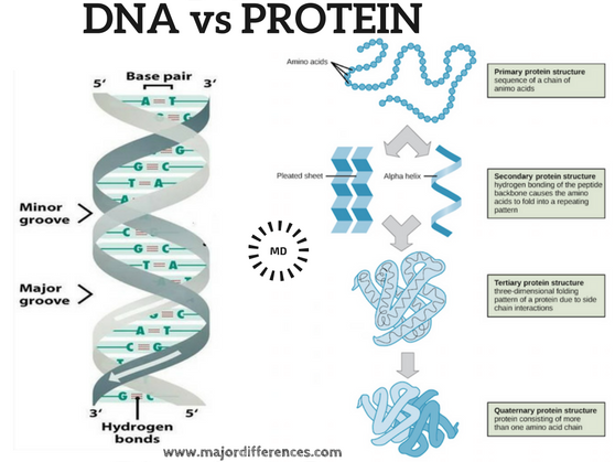 Difference between DNA and Protein (DNA vs Protein)