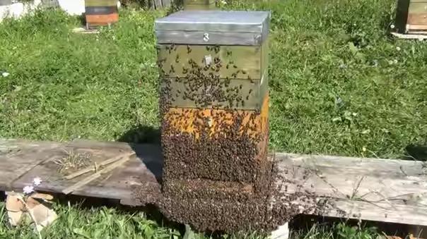 Τρελό μελισσοκομικό βίντεο από την Ρωσία