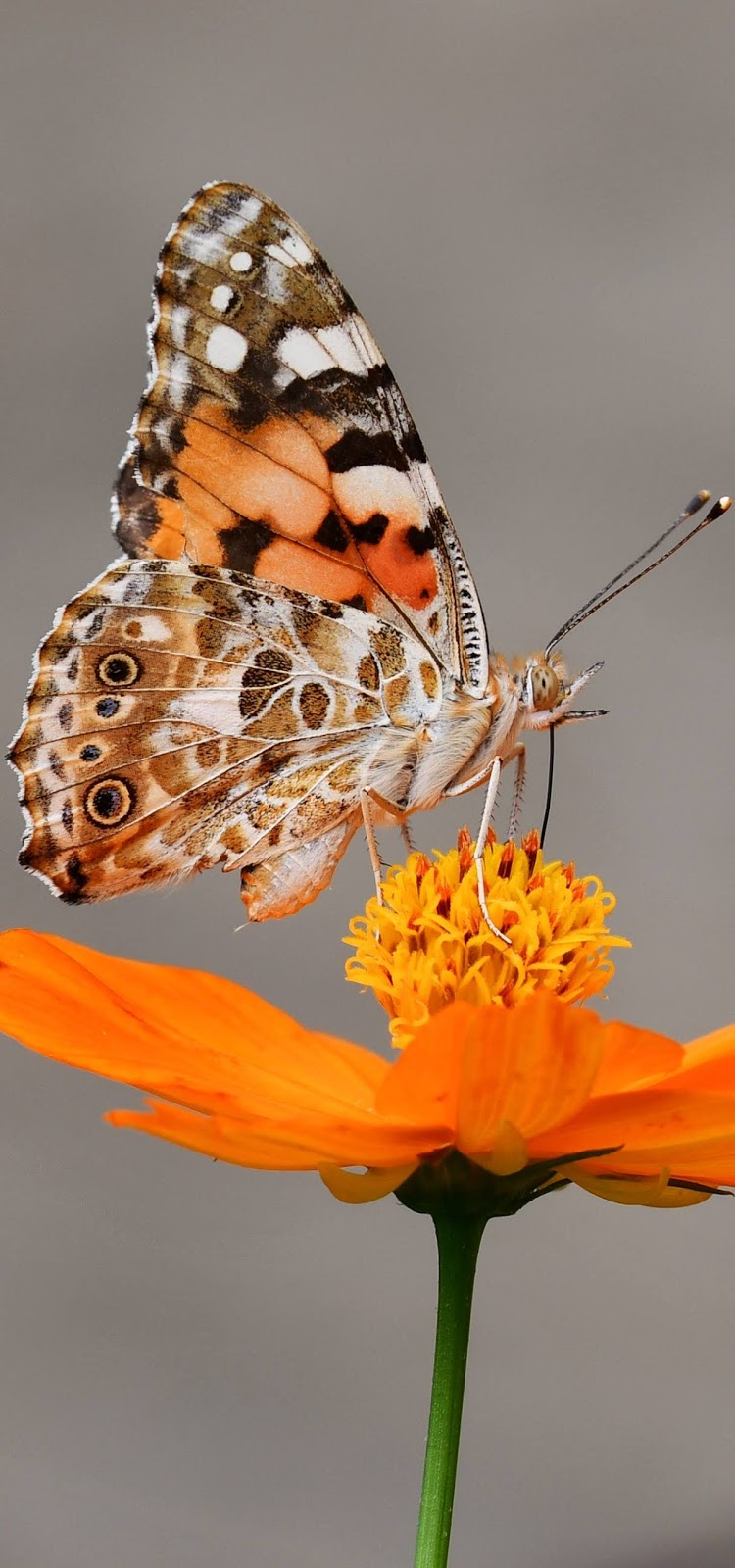 Picture of a painted lady butterfly.