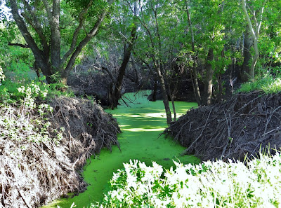 Algae-covered ditch inside Barker Reservoir