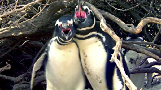 Shocking: Bloody Fight Between A Cheated Penguin And His Rival Gone Viral