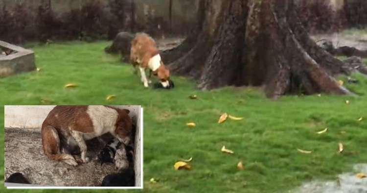 ΜΑΝΑ ΕΙΝΑΙ ΜΟΝΟ ΜΙΑ!!! - Μαμά σκυλίτσα μεταφέρει προσεκτικά τα μωρά της σε ένα ζεστό μέρος για να τα προστατέψει από την άγρια καταιγίδα (βίντεο)