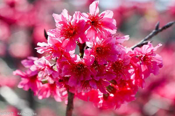 台中后里泰安櫻花季,最美泰安派出所八重櫻盛開,賞櫻花好去處