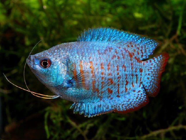 Kolam Pemijahan Ikan Dwarf Gurami Hias