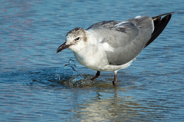 Laughing Gull, East End Galveston