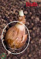 bulb; vegetable bulb