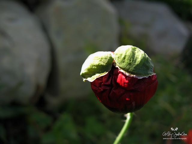 Red Poppy Sensual Photo