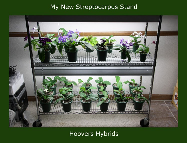 African Violet Growing Tips Amp Tricks From Hoovers Hybrids