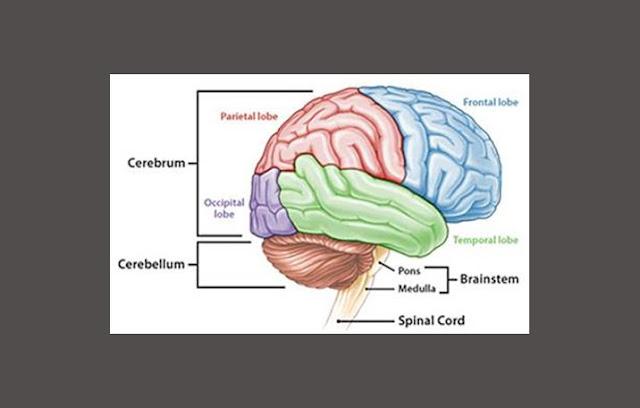 Struktur Otak, Bagian Otak, Otak Besar