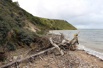 das Bild zeigt einen Strandabschnitt mit eher flachen Klippen und einem Baumgerippe im Vordergrund